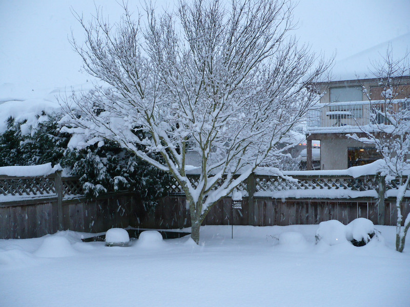 Snow on the Japanese maple in back yard