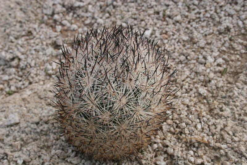 Fox tail Cactus