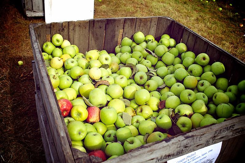 Apple Picking 6