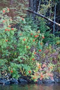 Mountain Ash with Load of Berries