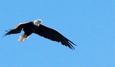 Eagle Spots a Dead Fish