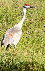 Sandhill Cranes Near Canim Lake
