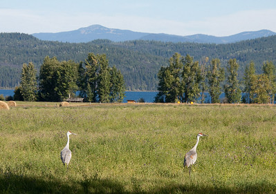 Sandhill Cranes Near Canim Lake