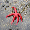 tiny baby hot pink starfish!