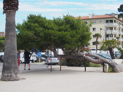 Windblown tree, Cassis