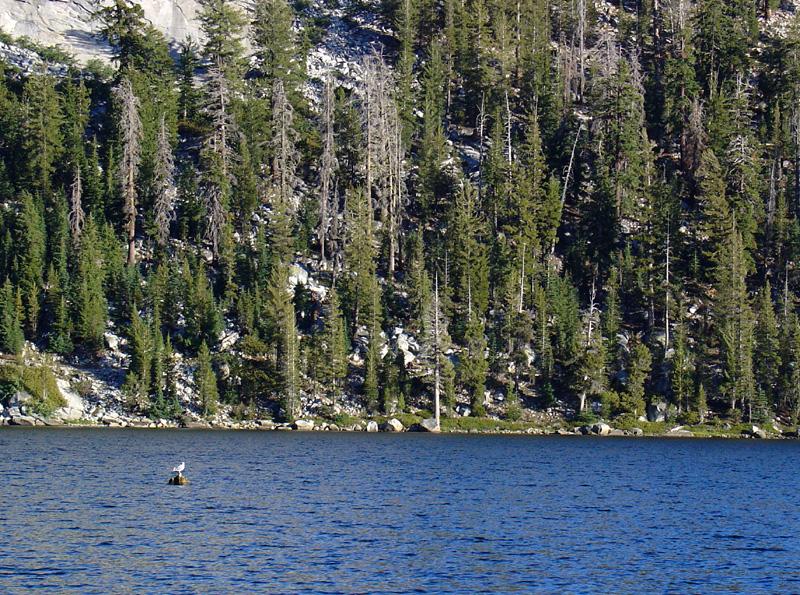 a lone eagle straddles a rock in Tenaya Lake