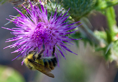 Bumble and Thistle