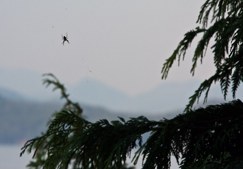 Spider, Mountains and Cedar