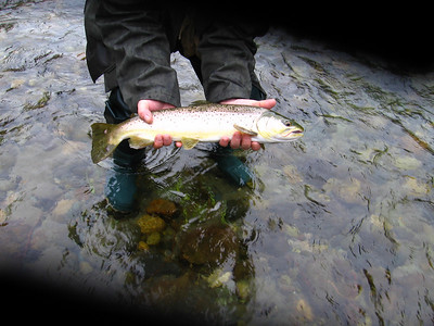 Brown Trout- Clay Bank