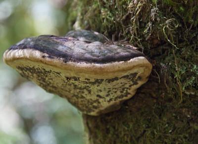 Bract Fungi