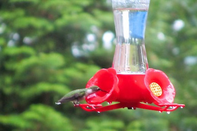 Hummingbird to the feeder