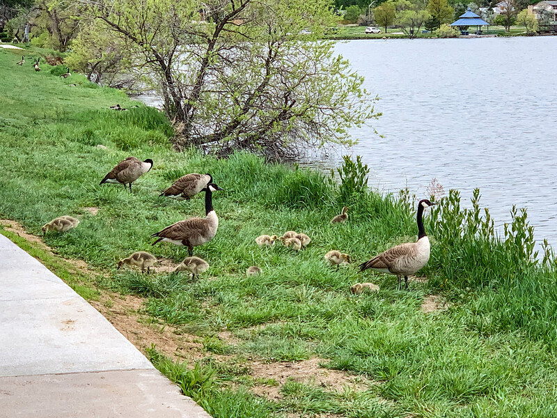 Canada Goose families at Lake Arbor, near our old house.