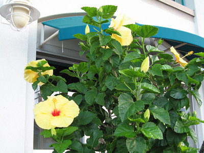 Yellow hibiscus (the state flower)