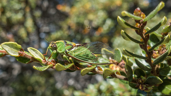 A cicada.