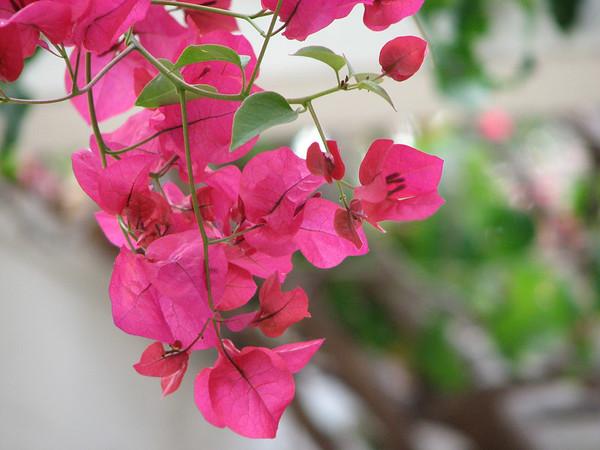 2006 10 04 Wed - Suspended flowers outside Estée Wang's room 2 @ The Glorietta Bay Inn