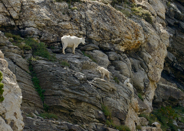Mountain Goats, Island Lake, Elko County, Nevada, 8-19-14. Cropped image.