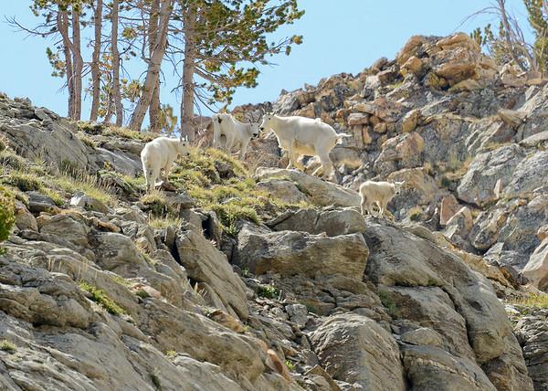 Mountain Goats, Island Lake, Elko County, Nevada, 8-19-14. Cropped image.
