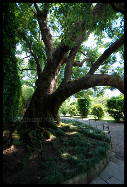 A very old tree.