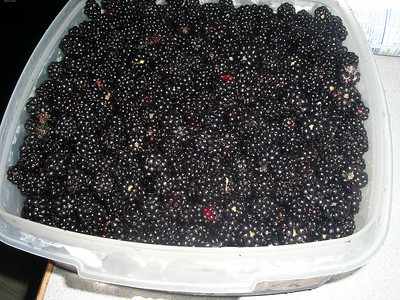 I spent hours picking these blackberries from Scott's yard.