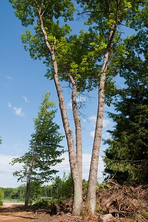 Triple oak specimen near the driveway entrance.