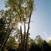 Triple oak in the afternoon sun.