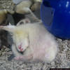 A sleeping ferret. HAhahahha.