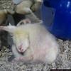 A sleeping ferret. HAhahahha.