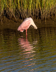 We find this Roseate Spoonbill grooming.