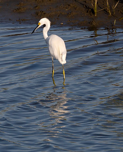 Another ubiquitous Snowy Egret