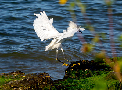 Snowy Egret coming in to land