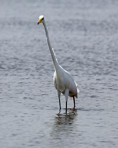A Great Egret studies us.