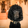 Daphne the poodle, in her art gallery