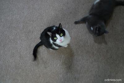 022_Gray_Black_White_Cat_649