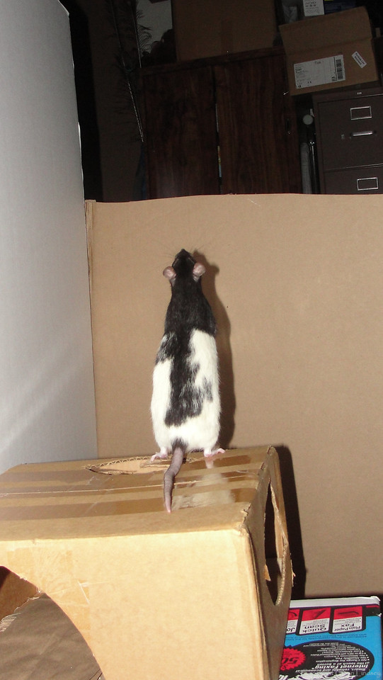 Yuppers, Tugger rat thinks about looking at the big open space that's in one part of the room. He's looking at the open area at the door. The door is structured like a horse stall, so that I can see outside if I need to. However, giving myself that open area, also gives naughty ideas to escape-type-rats.