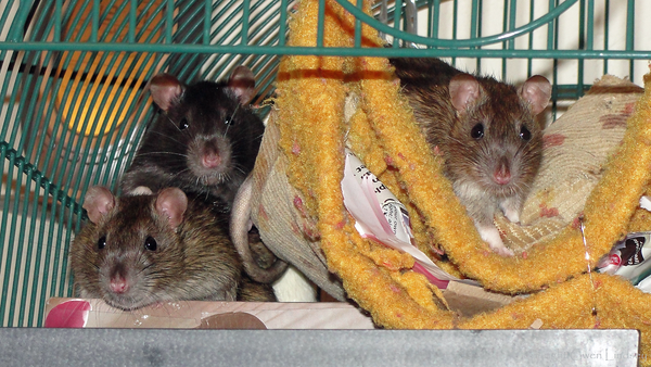 """""""That camera fing is a liddle scary, Gwen.""""<br /> Left to right, Timmy, Tugger, and Toby."""