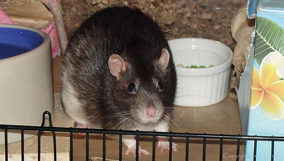 Chancy Rat, Four Years Old!