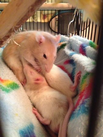Pet rat swelling around asshole