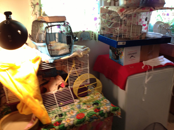 Crazy kitchen mess. Arghhh. Finding out that Maizie was pregnant - which I learned 6 days after I got her, and she gave birth the next day - meant I had to separate her cagemate, Mijah, from her, and her from her babies, in order to clean the cage and manage the whole group. So my kitchen was surrendered to rat cages and cleaning stuff. Eventually much of these was closed down and all rats and cages relocated to the bedroom where they belonged.