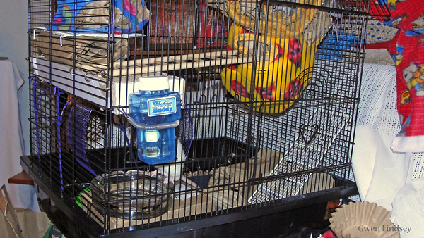 New rats' 2nd cage - needs a middle level, but I'm out of levels at the moment. They're doing great dashing about the ladders and hammocks. They're practicing the great art of super-ball bouncing, as baby rats do.