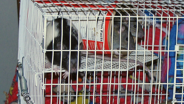 Thre new baby boy rats, Black Hooded is about 9 weeks old, two Agouti Irish mismarked are about 7 weeks old.