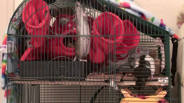 Tugger explores his new cage.