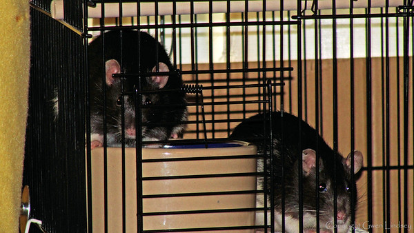 Pemy and Dicey, watchful and tense - fearful. But willing to sit close to the cage bars.  As long as I approach gently, they don't bolt from my approach, including if I open the cage door. I have taken very few photos of them so the camera is also a natural aversive.
