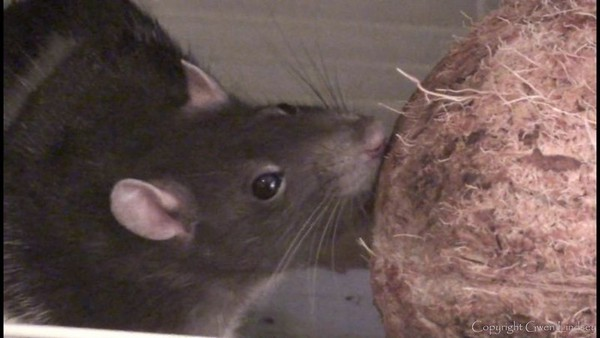 Chancy enjoys her personal coconut.
