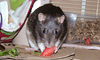Chancy munches watermelon.