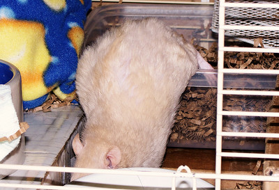 Lila, beige velveteen rat, has difficulty exiting the litter box due to increasing hind-end weakness.