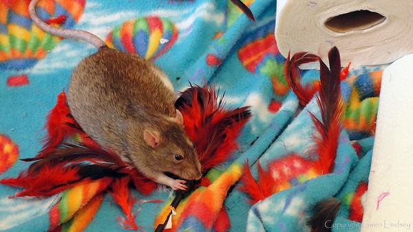 Bonny Bon-Bon, Professional Feather Hunter, kills her prey on the balloon prairie of the rat room.