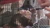 Beggar rats seek treats.