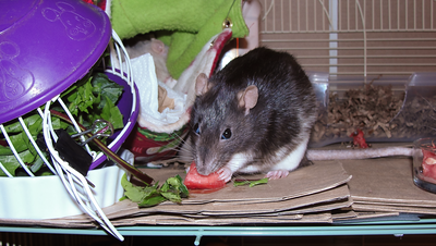 Chancy munches watermelon.