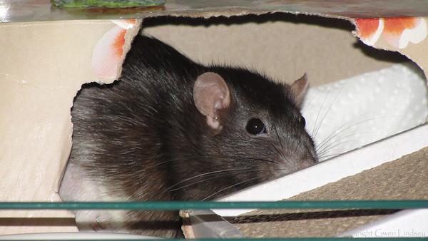 Chancy Rat.