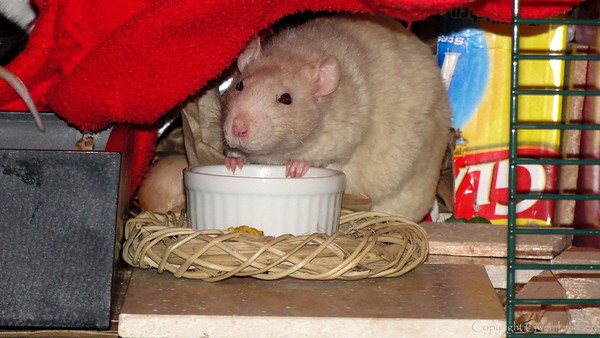 """""""Must I really point out this bowl is empty?"""" Thus says velveteen mood rat Lila (""""Lie-lah""""), who, at 86 years old in July 2010, has a right to a full treat bowl at all times. :)"""